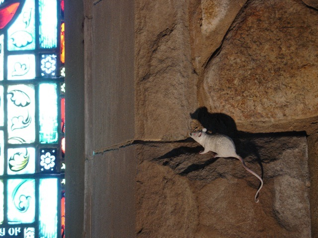 Mouse on ledge of stone wall